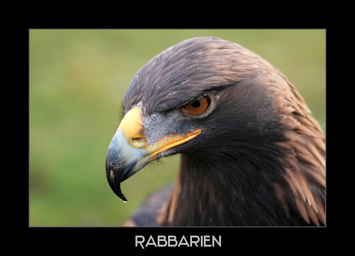 Adler Kopf